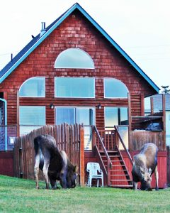 Moose visiting the Kachemak Cottage
