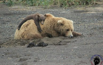 baby bear sleeping on mother bear