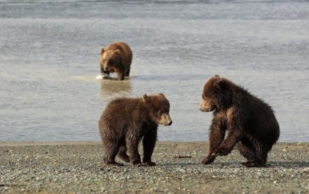 bears playing and in the water
