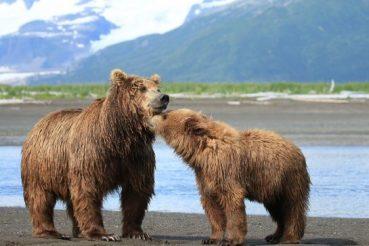 mother bear and baby bear kissing in Alaska