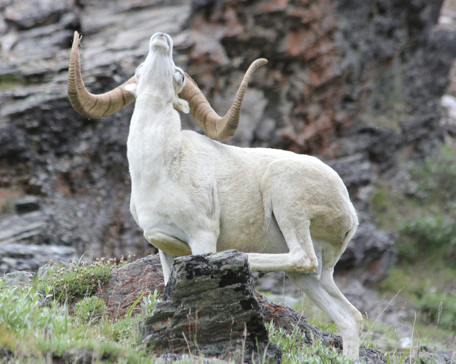 ram with its head reared back