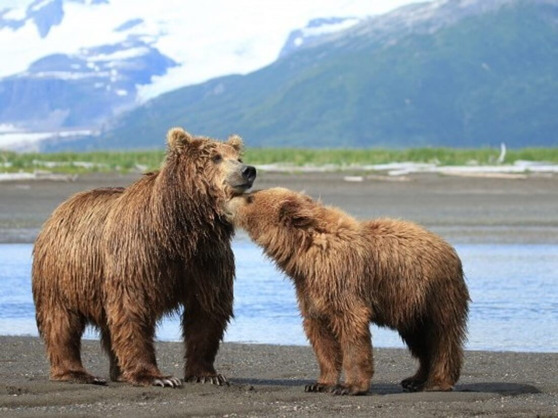 Bears standing near the ocean.