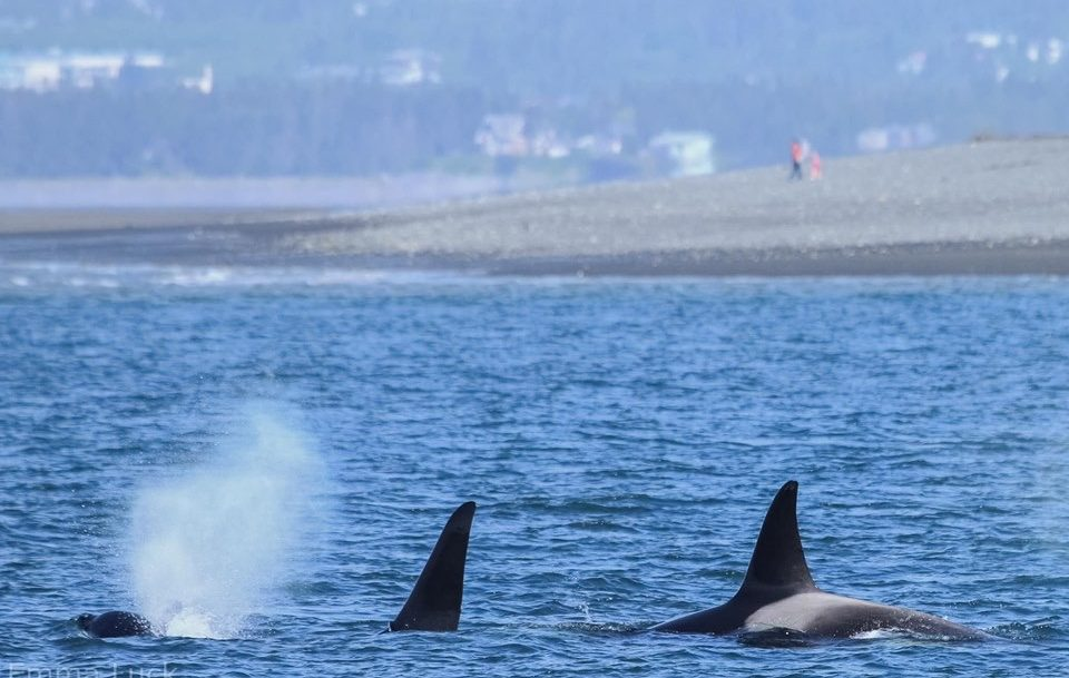 Orca Whales in Kachemak Bay