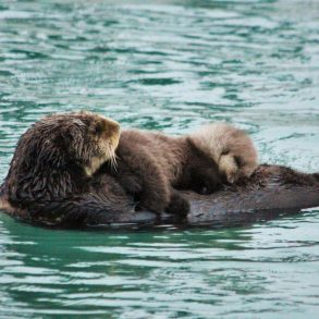 otter mama and baby