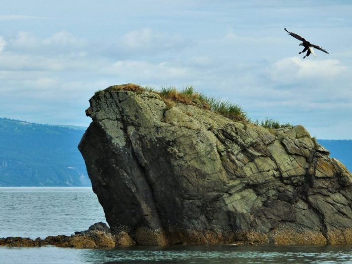 Eagle landing on Gull Island.