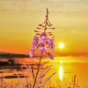 Fireweed Sunrise