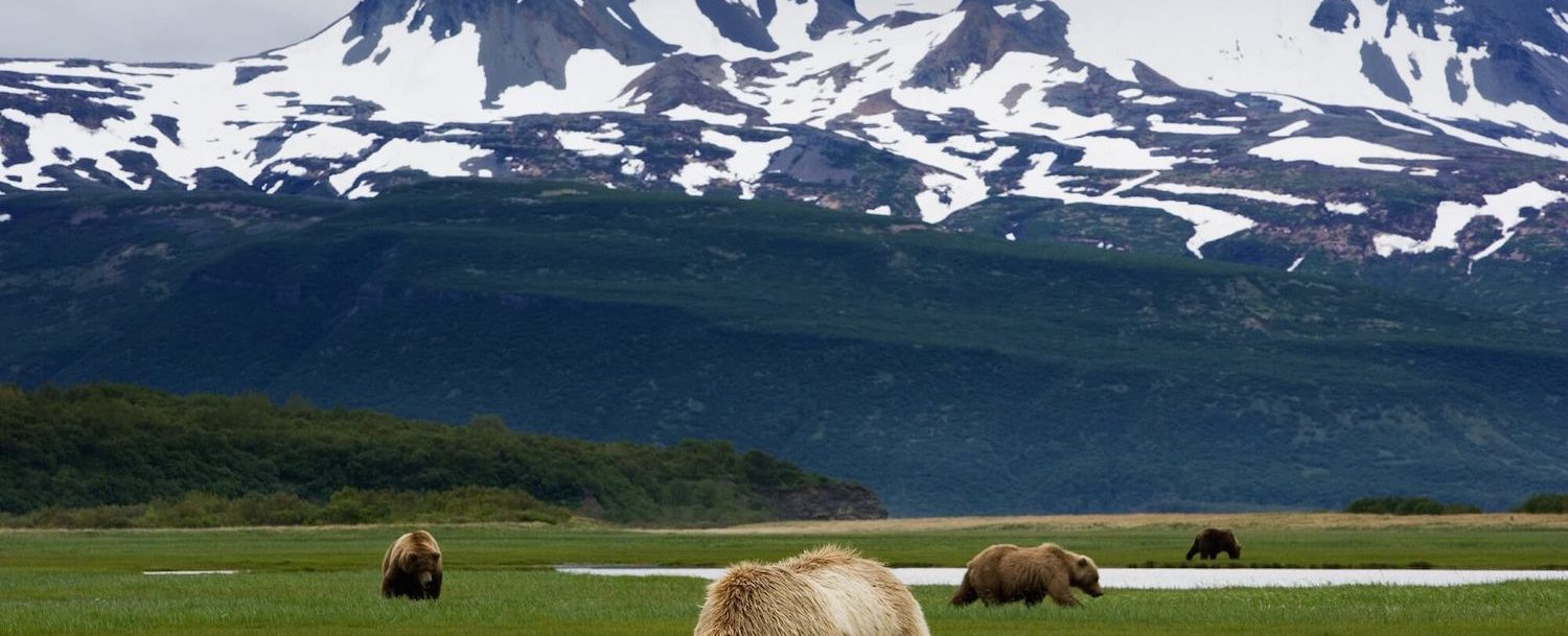 bears in a field in homer, alaska.
