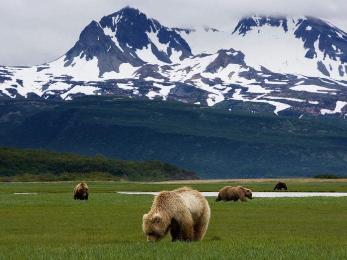 bears in a field in homer, alaska.