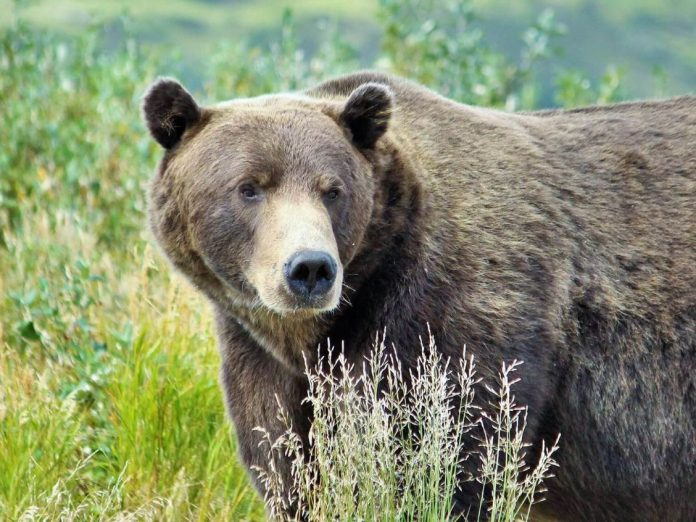 Big brown bear in the wild.