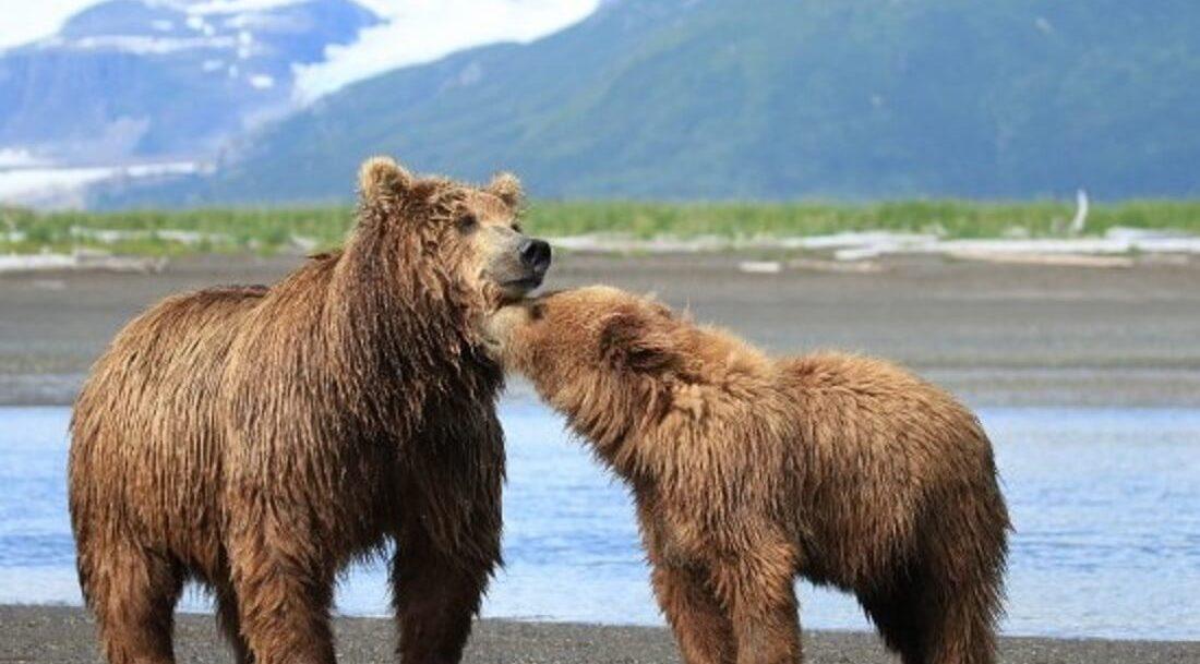 Bears nuzzling. Bear viewing tour.
