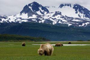 bears grazing in front of a mountain ridge